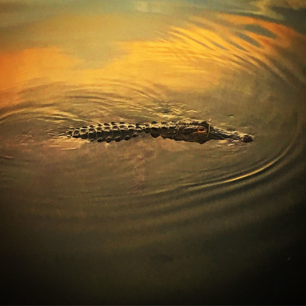 Peekaboo Hanging Out Waterscape Gators Sunset Silhouettes Sunset_collection Lake Wildlife Photography Natural Beauty Crocodile Alligator The Great Outdoors - 2016 EyeEm Awards
