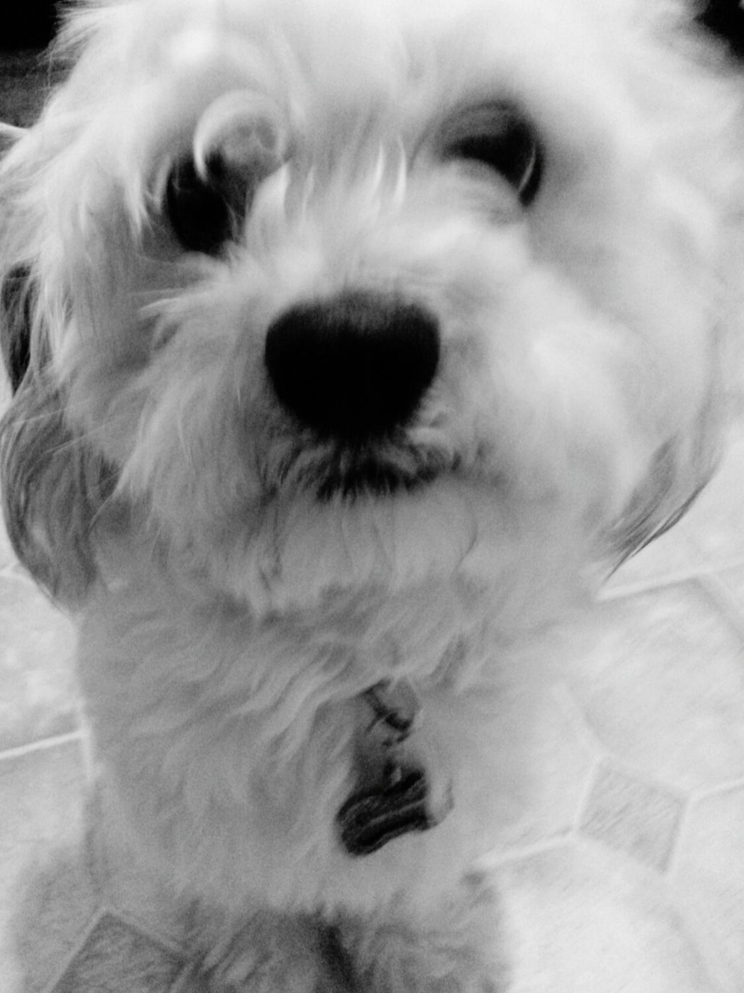 Cute Pets Adorable Dog Breed Teddybear Shitzu Maltese Mix Pet Dog  Teddybear Pet Love Pet Adorable Pet Black And White Photography