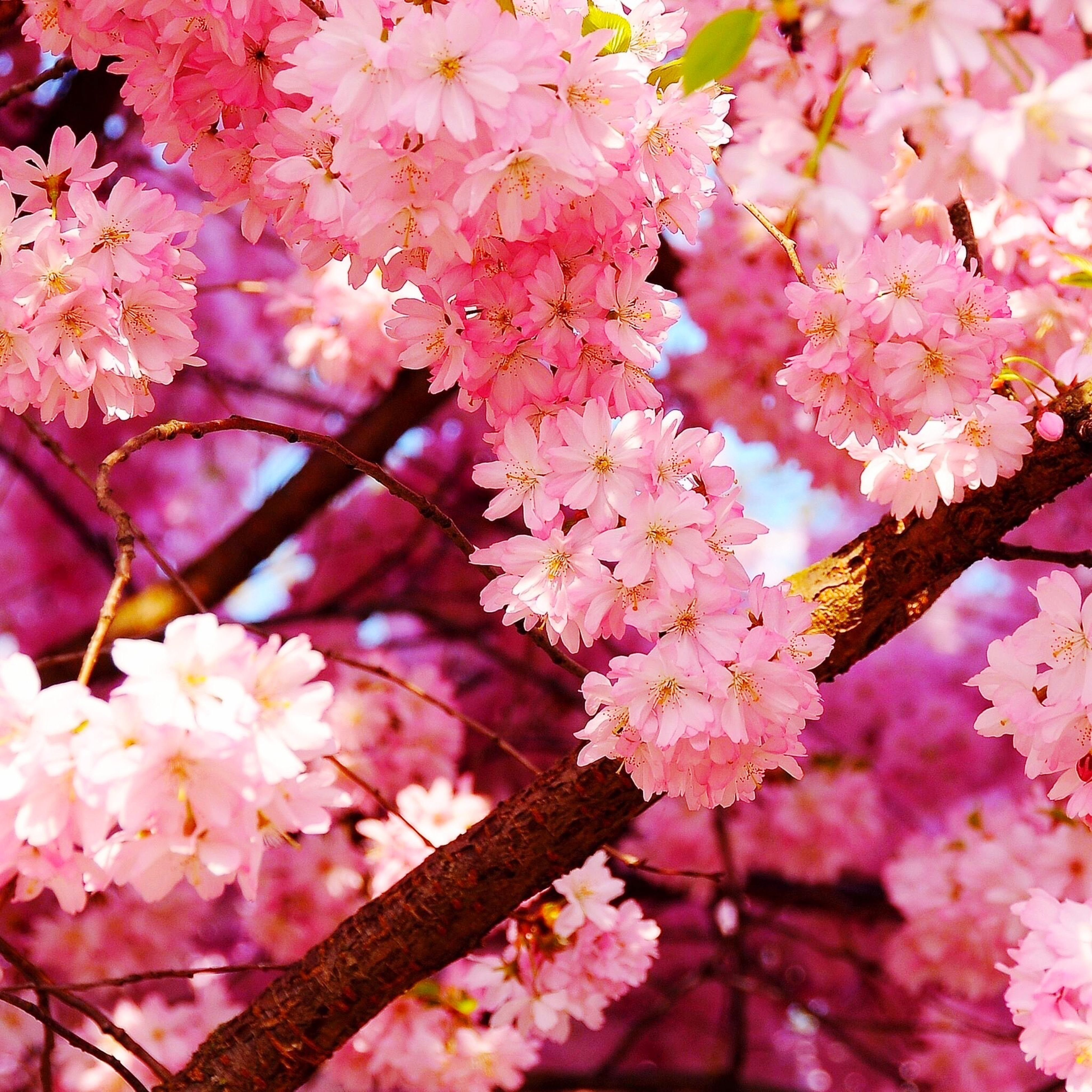 flower, freshness, branch, fragility, cherry blossom, tree, beauty in nature, blossom, growth, pink color, petal, cherry tree, nature, low angle view, in bloom, springtime, fruit tree, blooming, close-up, pink