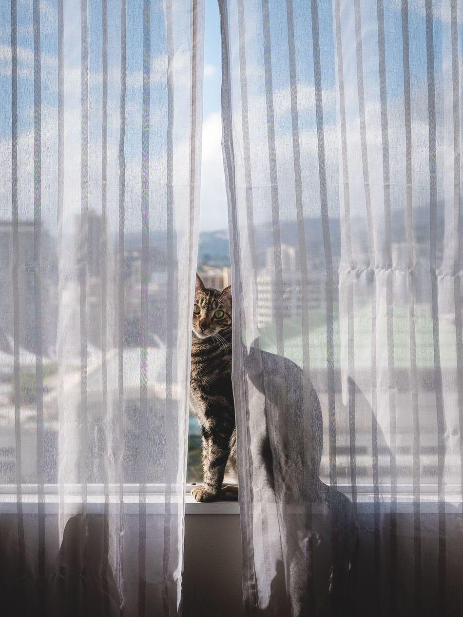 Beautiful stock photos of baby katzen,  Animal Themes,  Carnivora,  Cat,  Curtain