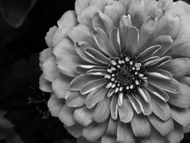 Flower Petal Flower Head Beauty In Nature Nature Fragility Freshness Growth Plant Pollen Close-up No People Blooming Outdoors Dahlia Day Zinnia  Blackandwhite