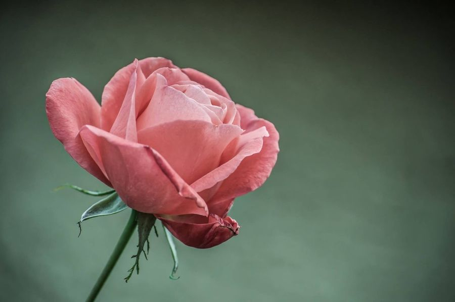 Pink Rose Hope Flower Petal Beauty In Nature Fragility Nature Flower Head Freshness Close-up No People Plant Rose - Flower Growth Blooming