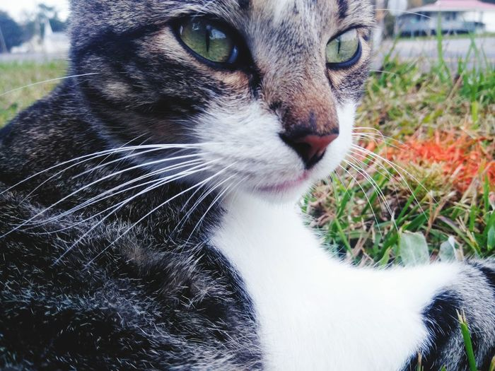 Close-up Cat Green Eyes Cat Tomcat Tabby Cat Stripped Cat Cool Cat Cat In Grass Meow A Cats Life Happy Cat Green Eyes Cat Green Eyes Close To Nature Domestic Cat Domestic Animals Pets Animal Themes One Animal Feline Mammal Whisker No People Grass Day Outdoors Portrait Close-up