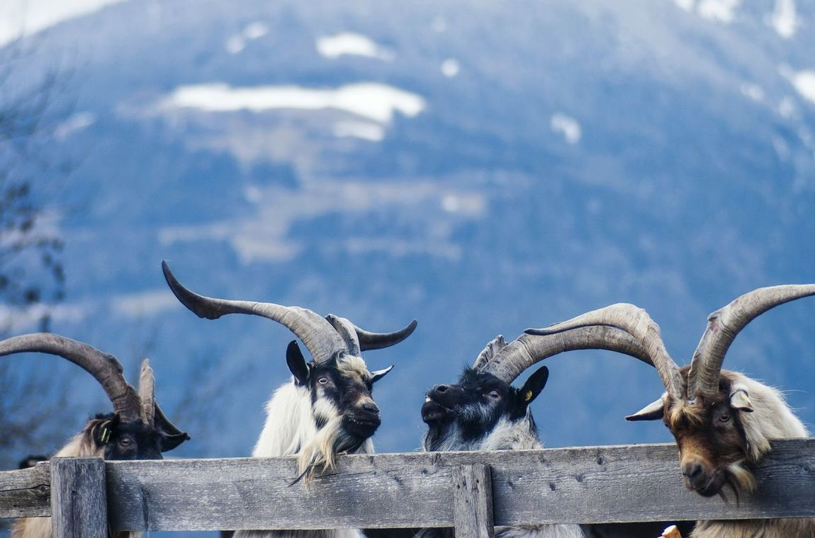 """""""Weee fourrrrrr guyssss beautiful arrrrre"""" Stand Out From The Crowd Everyday Joy Snapshots Of Life Goats Everyday Lives Enjoying Life Picturing Individuality Nature On Your Doorstep Landscapes With WhiteWall Original Experiences Learn & Shoot: Balancing Elements"""