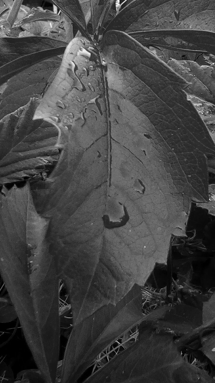 leaf, close-up, day, no people, nature, outdoors, growth, plant, fragility, beauty in nature, animal themes, maple