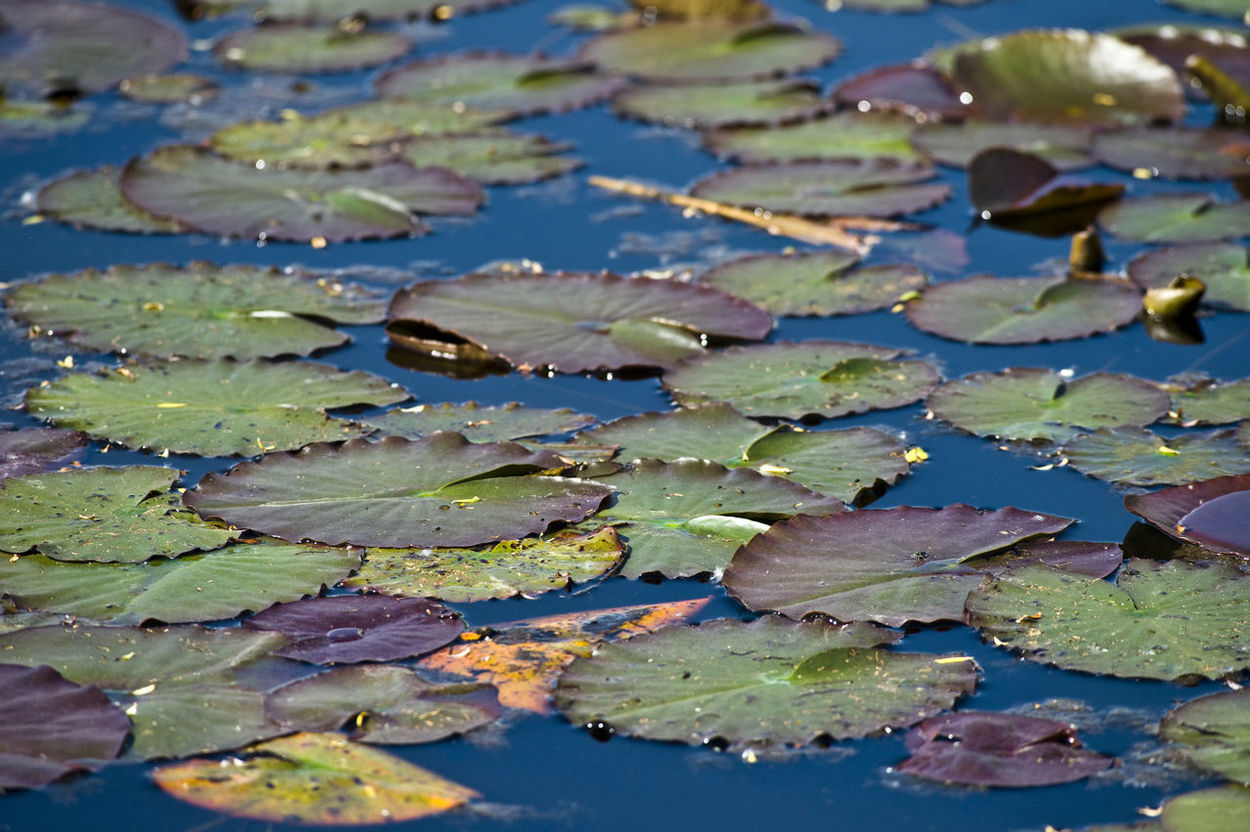 Close-up Floating Floating On Water Growth Leaf Lily Pad Nature No People Outdoors Plant Pond Reflection Standing Water Varese Varesetheplacetobe Water Water Lily Water Plant Waterfront