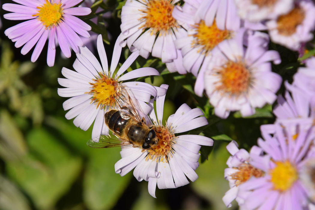 Pink Alpine aster flowers and bees Aster Bee Bees Flower Collection Flowers Flowers,Plants & Garden Nature Nature Photography Nature_collection Pink Pink Flower Spring Springtime Summer Summertime Nature's Diversities The Essence Of Summer
