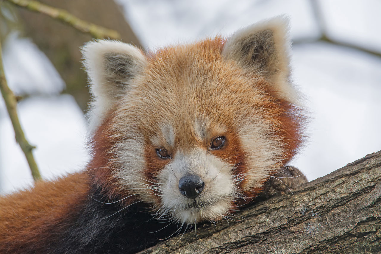 Animal Themes Animal Wildlife Animals In The Wild Close-up Day Looking At Camera Mammal Nature No People One Animal Outdoors Portrait Red Panda Red Panda Tree