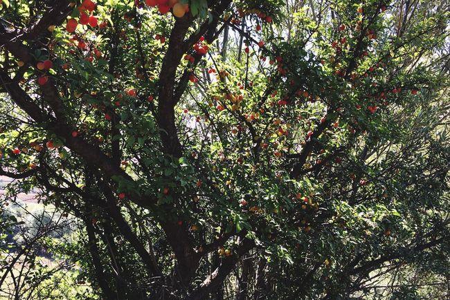 summer Tree Cherry Tree Red Mountains Alborz Nature Iran