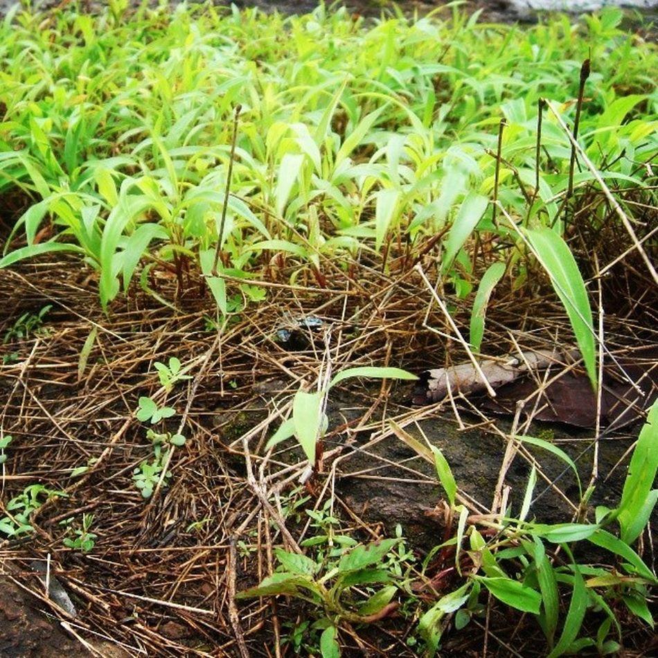 Greenary Plant Plantlife Nature Nature360 Shades Leaves Grass Nothingisordinary_ Nothingisordinary GOLDENCLiCKS Golden_click Naturelover Nature_perfection Rains In_love :)