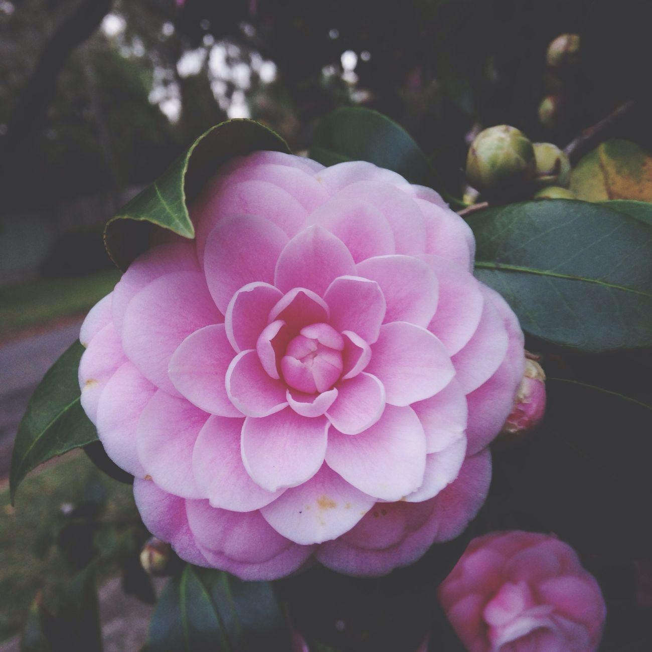 Australian camellia Flower Camellia Australia