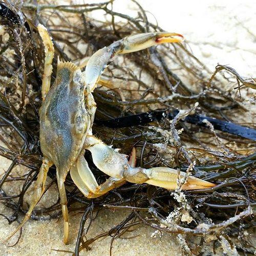 Baby Blue Crab Bluecrab Chicksbeach 757 Va Beach Ocean Seaweed Sandy Oceanwater Summertime Splash Sunshine VABeach Saltlife Crab Myeye Photographer Drcharlesstanley