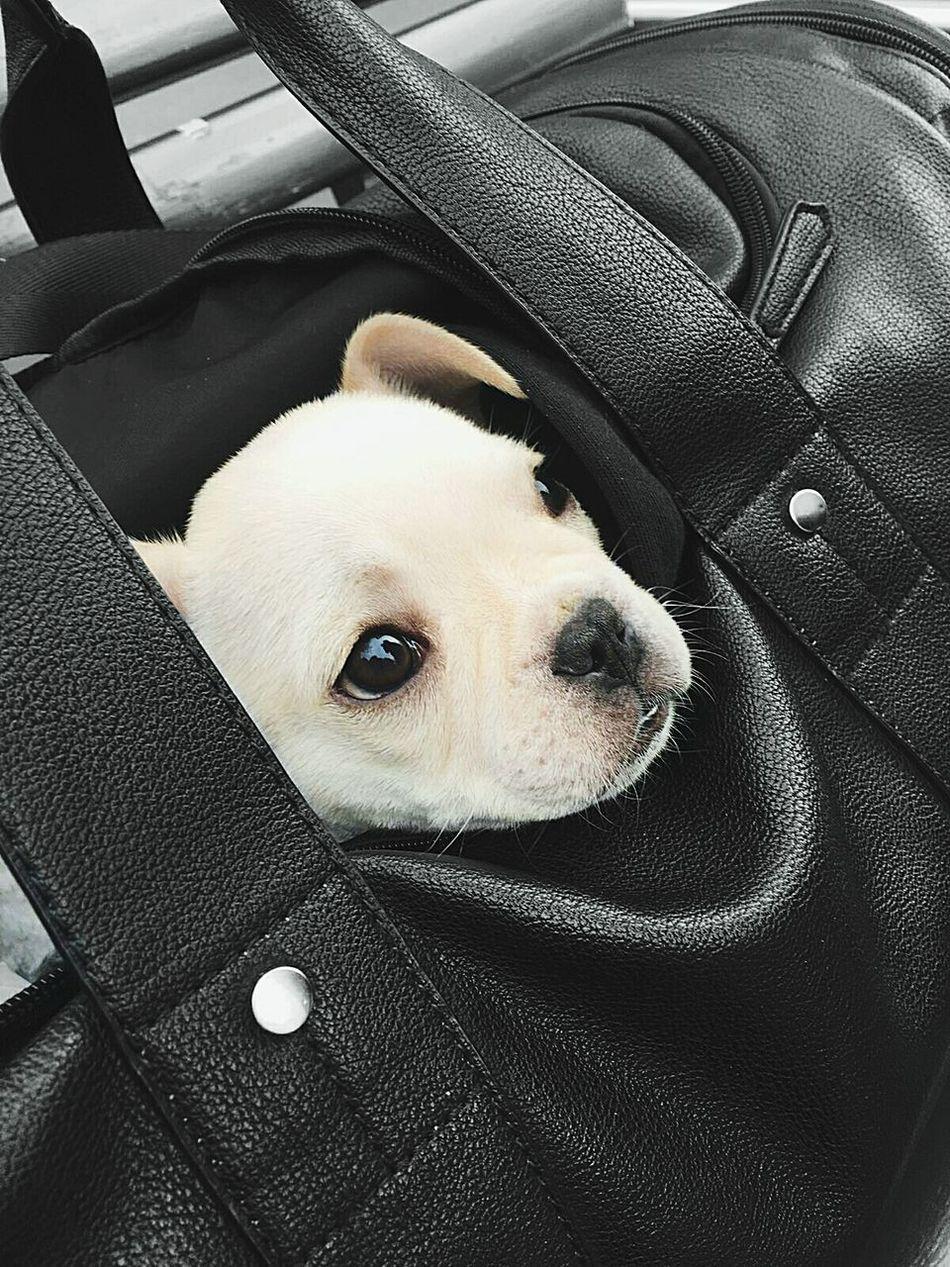 Dog Doggy Doggie Hund Französische Bulldogge  Puppy Black & White Bag Mode Animal Animal Photography Travel Traveling Travel Photography First Eyeem Photo Of A Dogg Crème Color EyeEm Diversity Art Is Everywhere The Secret Spaces EyeEmNewHere