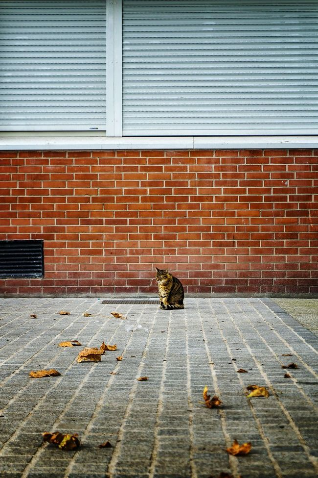 TakeoverContrast with street cat 🐈 Leaf Change Season  Falling Autumn Fallen Transportation Dry Day Paving Stone Domestic Animals Messy Unhygienic Leaves Outdoors Cat Catlovers Cats Of EyeEm Street Cat