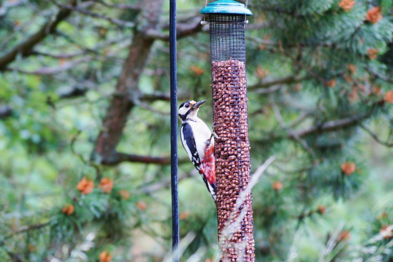 EyeEm Birds Sweden Woodpecker Hackspett Björkvik Swedish Nature Home Is Where The Art Is Colour Of Life 2016 Juni Niklas My Year My View BYOPaper!