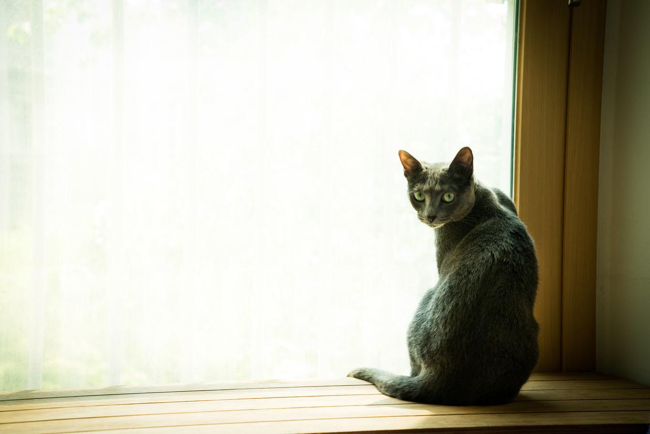 Cat Animal Window Kitten RussianBlue Seoul Korea