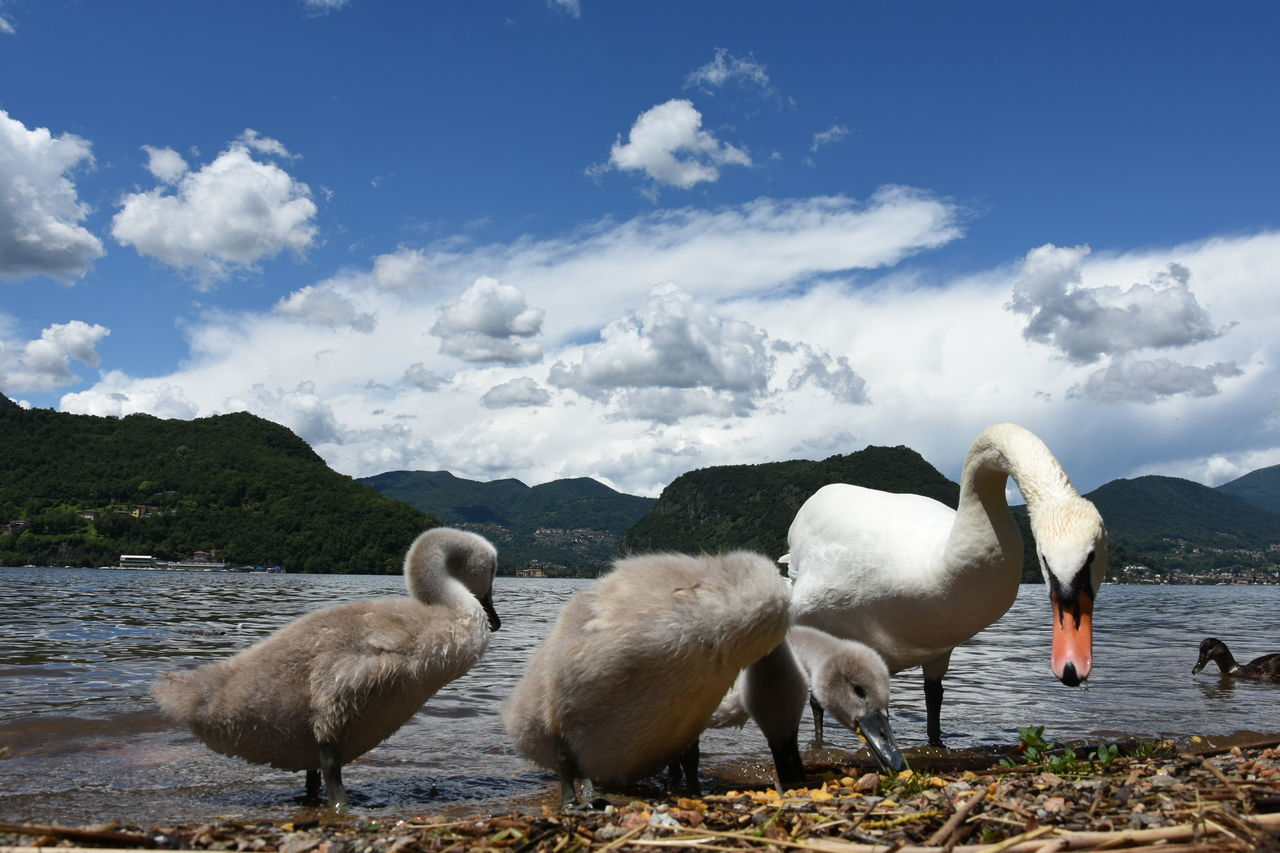 Baby Swans Family Swan Lake Mountain Nature No People Sky Swan Family Swans Water Wild Animals Animals Showcase June Hidden Gems  in Lugano, Switzerland