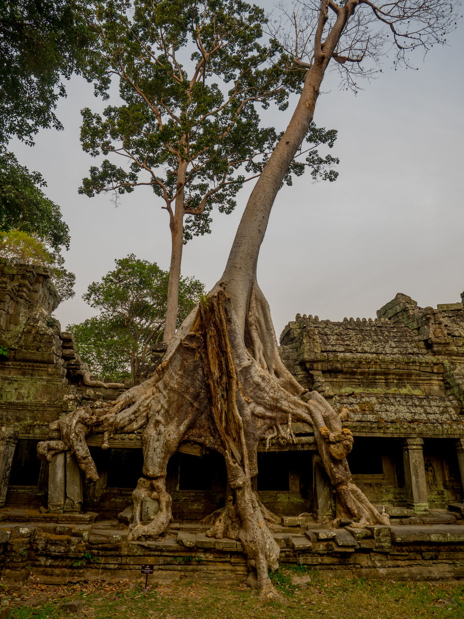 Ancient Angkor Cambodia Cultures Day No People Outdoors Place Of Worship Religion Strangler Fig Strangler Fig Tree Travel Travel Destinations Travelphotography Tree