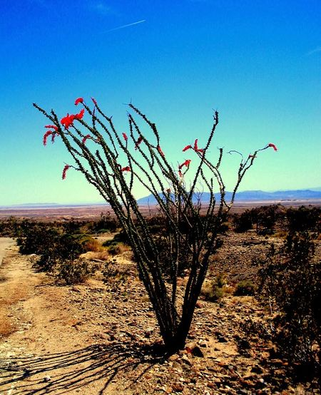 Palm Desert Ocotillo Desert Flowers Natural Beauty Deserts Around The World