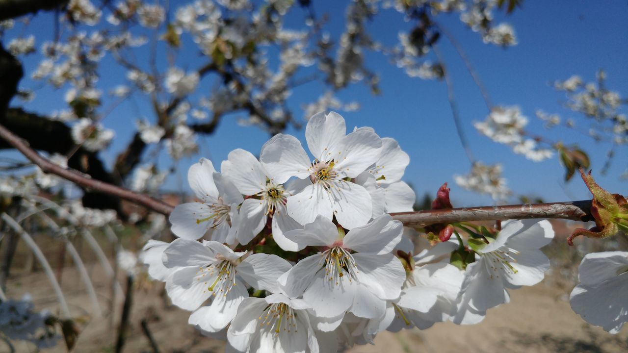 flower, fragility, blossom, white color, beauty in nature, tree, springtime, apple blossom, cherry blossom, nature, growth, branch, orchard, apple tree, petal, freshness, almond tree, botany, cherry tree, twig, stamen, flower head, no people, pollen, day, plum blossom, close-up, blooming, outdoors, sky
