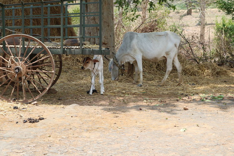 Calf Cow Hot Day Indian Village Life New Born Animal Shelter From Got Summer Summertime Village Photography