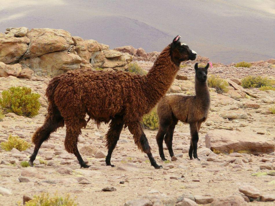 Beautiful stock photos of llama, Animal Family, Animal Themes, Day, Domestic Animals