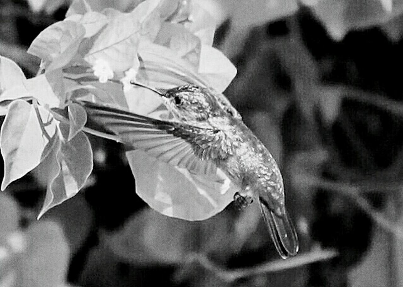 Humingbirds Humingbird Black And White Photography Black And White Monochrome Antigua Humming Bird Mid Flight Monochromatic