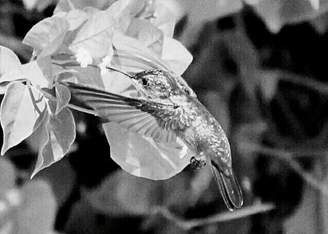 Humingbirds Humingbird Black And White Photography Black And White Monochrome Antigua Humming Bird Mid Flight Monochromatic