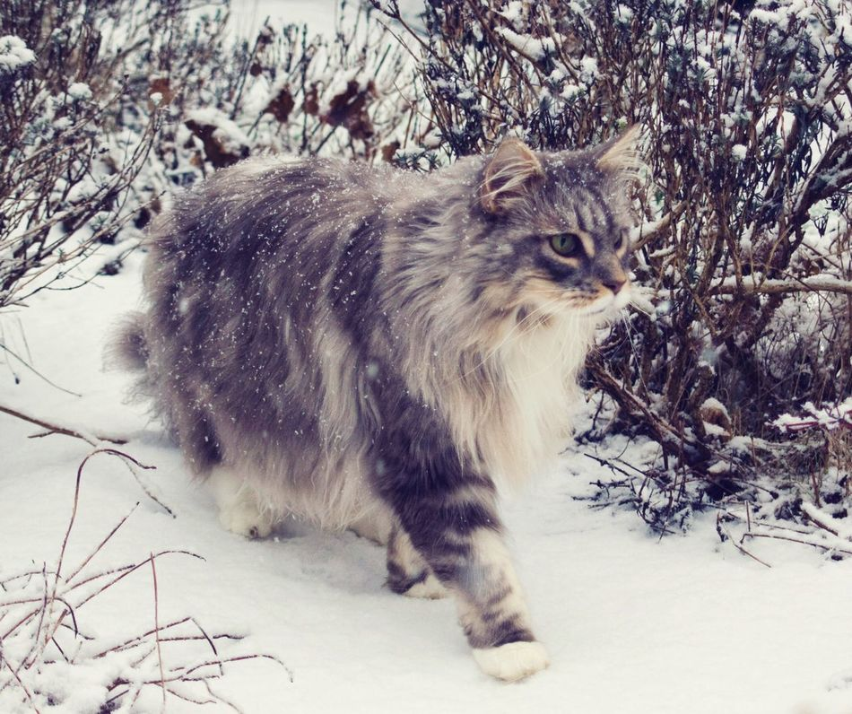 Mainecoon Snow ❄ Cat Domestic Cat Pets Feline Outdoors Nature Winter Firsts Cats Of EyeEm