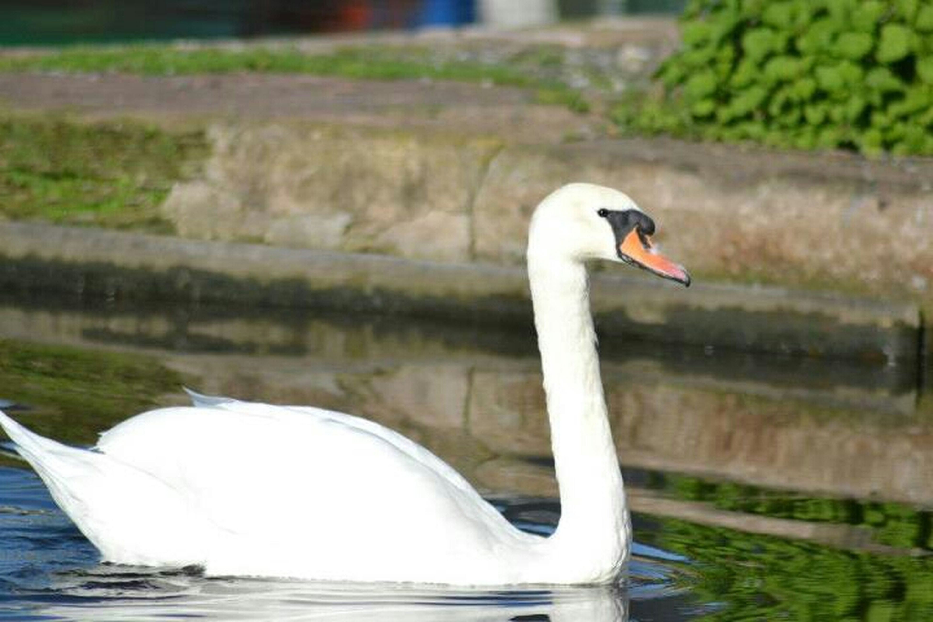 bird, animal themes, animals in the wild, wildlife, water, one animal, lake, swan, beak, focus on foreground, white color, nature, side view, two animals, close-up, zoology, waterfront, outdoors, water bird, swimming