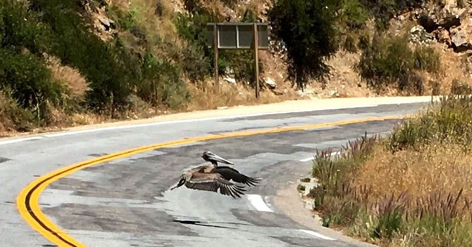 Bird Pelican Pelicano Brown Pelican Big Sur, Ca. Highway 1 Beautiful Nature Take Off Pull Over! Lucky Me IPhone Photography