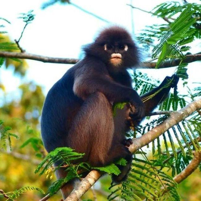 Nature Langkawai dusky leaf monkey