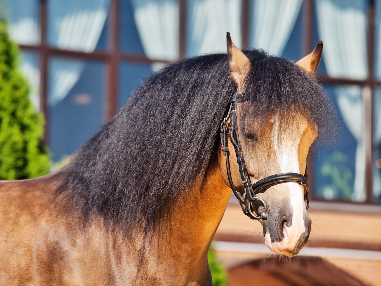 portrait of welsh pony stallion Animal Themes Brown Close-up Day Domestic Animals Horse Livestock Mammal No People One Animal Outdoors Pony Sportive Stable