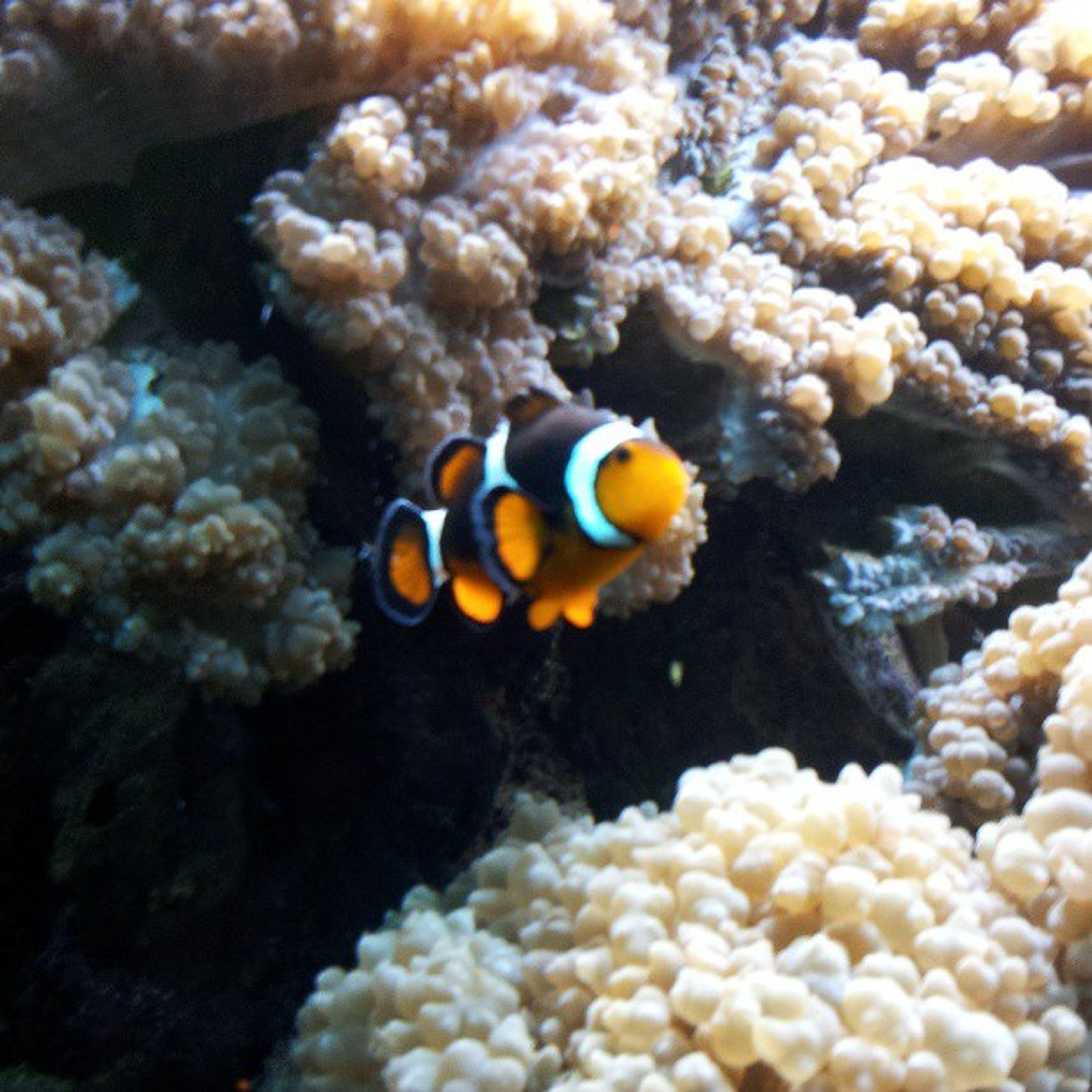 clownfisch ZooOsnabr ück