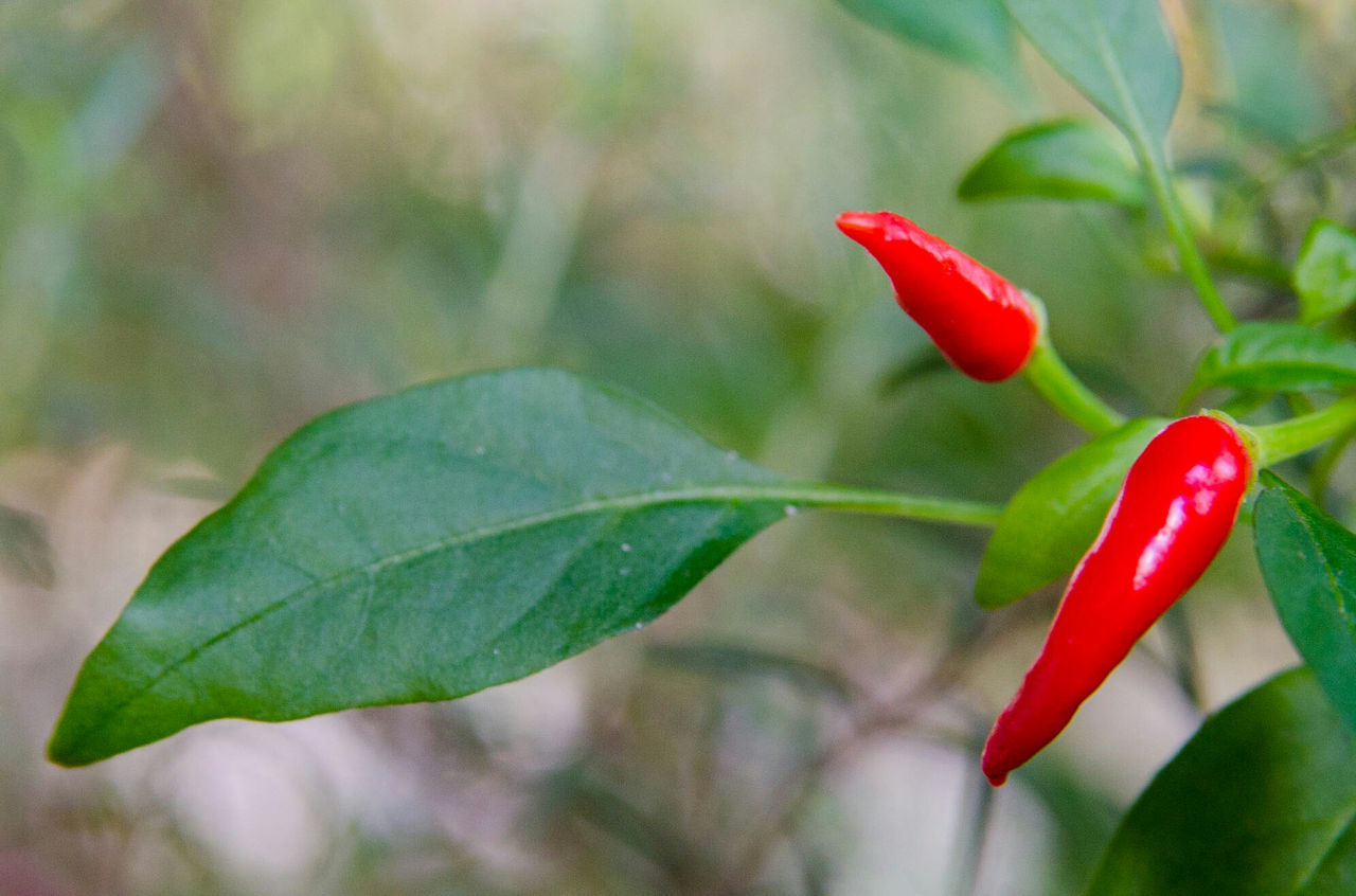 Peppers Leaf Nature Growth Red Plant Freshness Close-up Green Color Beauty In Nature Focus On Foreground No People Fragility Flower Outdoors Flower Head Day Redpepper Pimenta Plantas Aromáticas