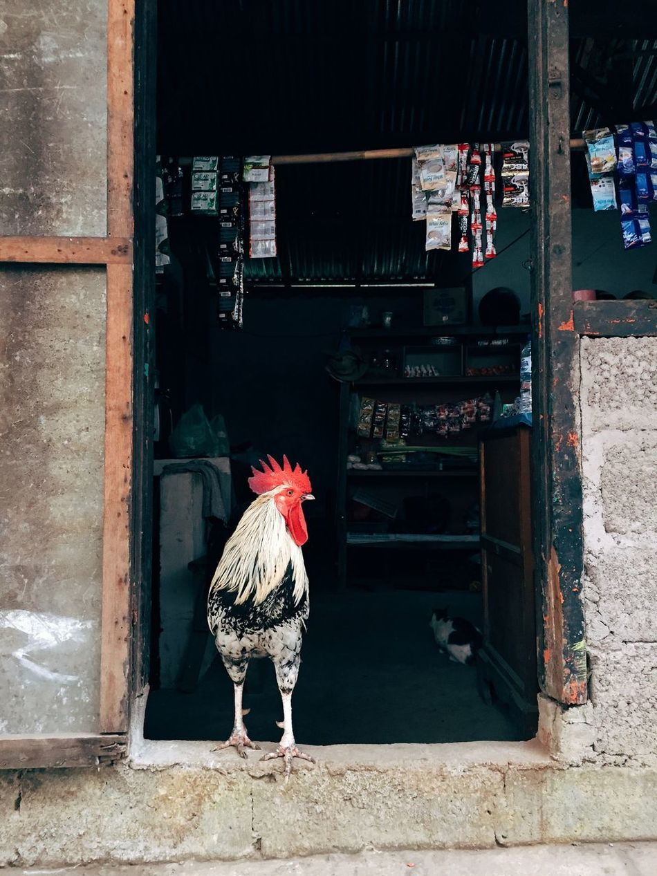 Beautiful stock photos of rooster, Animal Crest, Animal Themes, Bird, Color Image