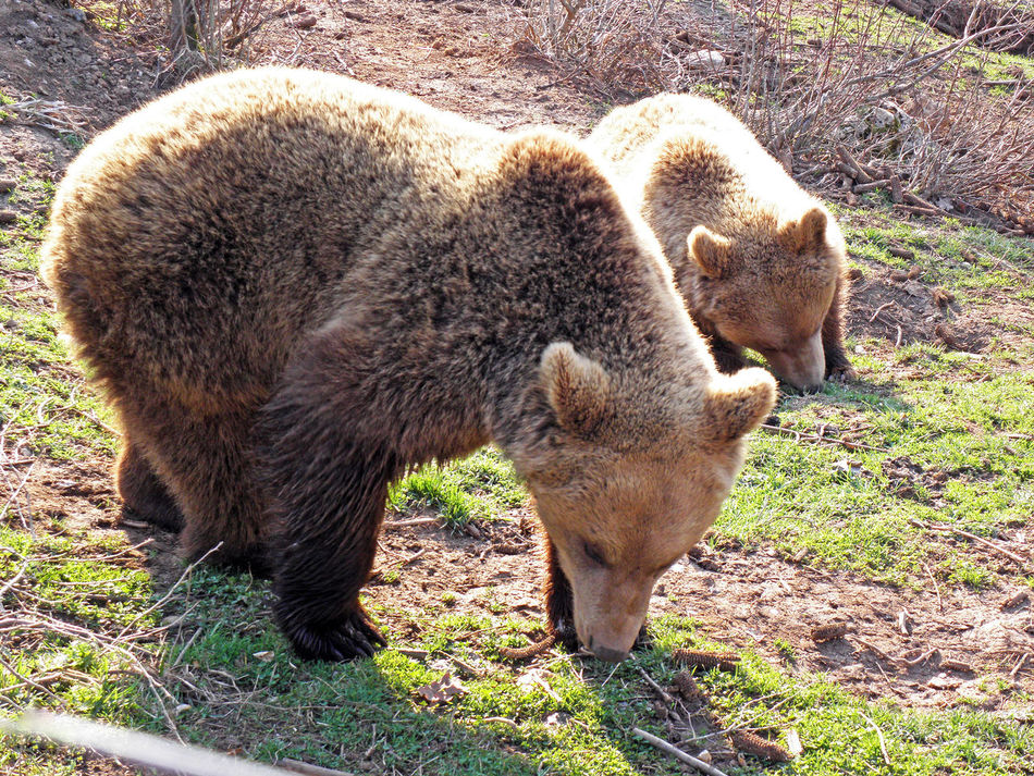 Kuterevo,Lika,Croatia,Europe,refugee camp for young bears,7 Animal Themes Animals Bear Croatia Eu Europe Field Kuterevo Lika Mammal Nature Outdoors Refugee Camp Refugee Center Springtime Young Bear Zoology