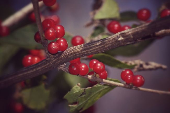 Winterfoliage  Redberries Winteriscoming Nature Nature Photography Macro Photography EyeEm Nature Lover