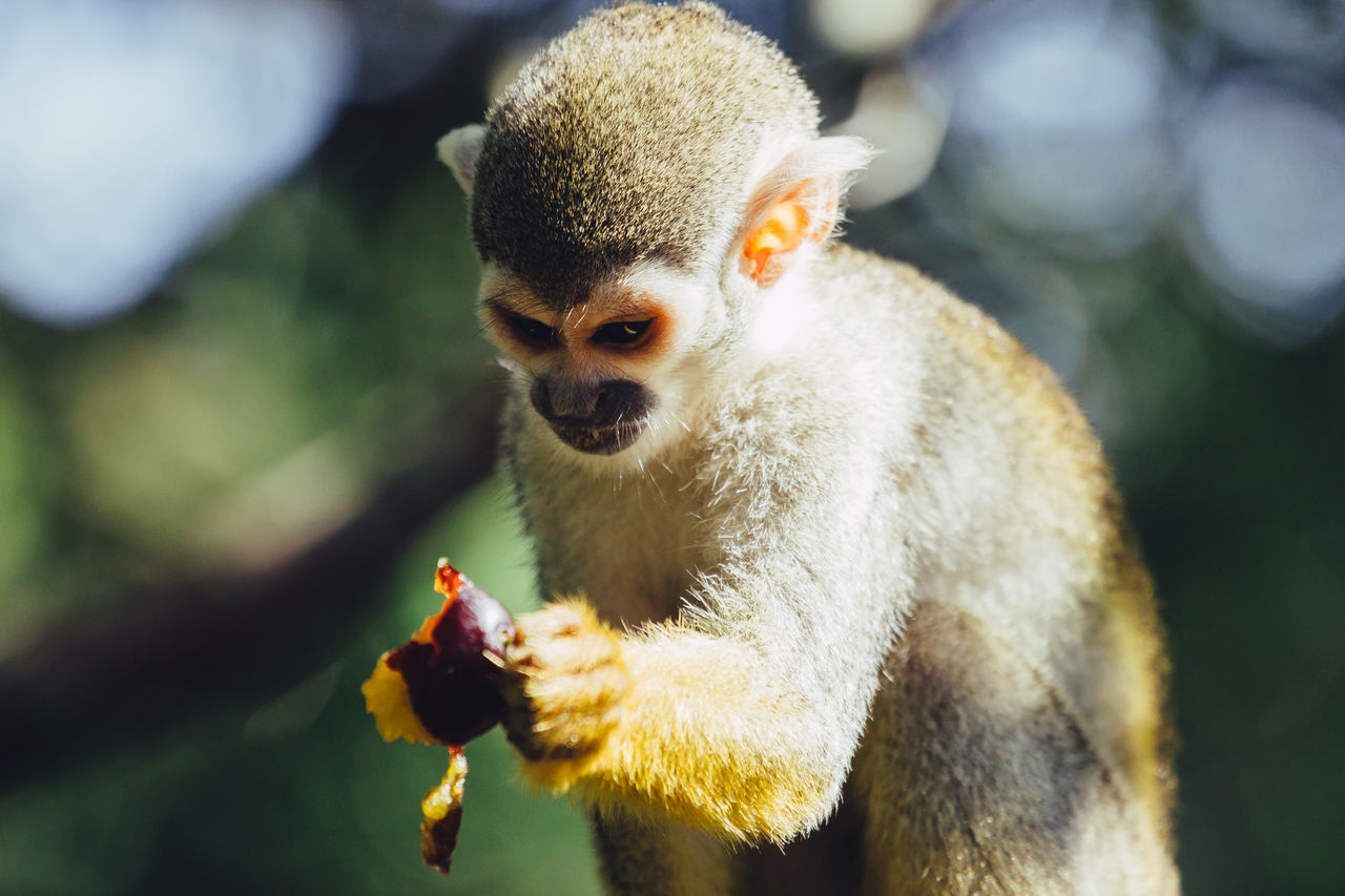 Close-Up Of Squirrel Monkey Holding Food