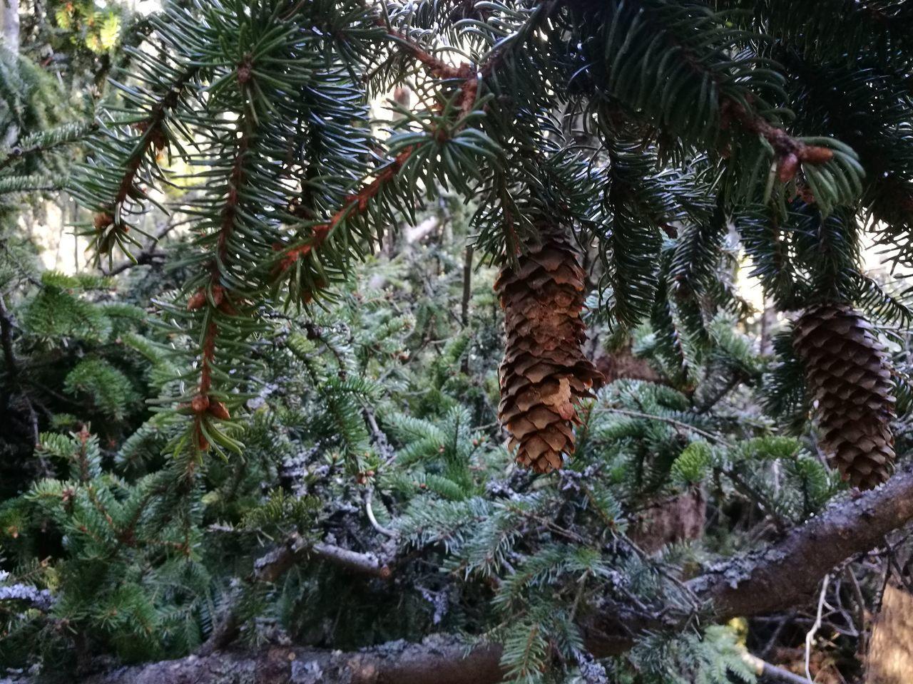 Pine Tree Pinecone Pinecones HuaweiP9