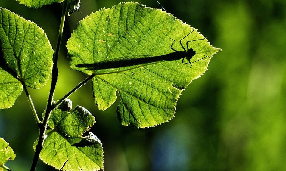 The shadow of a dragonfly. Close-up Dragonfly E-M1 Focus On Foreground Green Green Color Insect Leaf Leaf Vein Leaves Olympus Olympus OM-D E-M5 Mk.II OM-D OM-D E-M1 Ona Plant Shadow