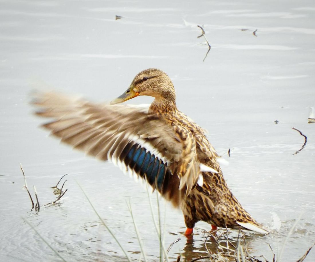 Same bird as before, but forward flap 😂😆 Birds Duck Bird Photography EyeEm Nature Lover Nature_collection Wildlife Birds_collection Birds Of EyeEm  Wings Capturing Movement Check This Out Wildlife & Nature Flapping Nature Photography British Wildlife Wetlands Marshes Fujifilm Bridge Camera Days Out Nature On Your Doorstep Animals