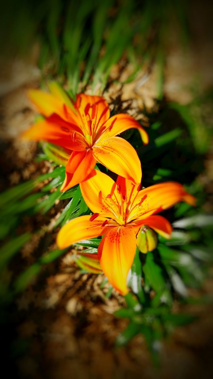 flower, petal, growth, beauty in nature, nature, orange color, flower head, fragility, plant, freshness, no people, blooming, yellow, outdoors, close-up, day