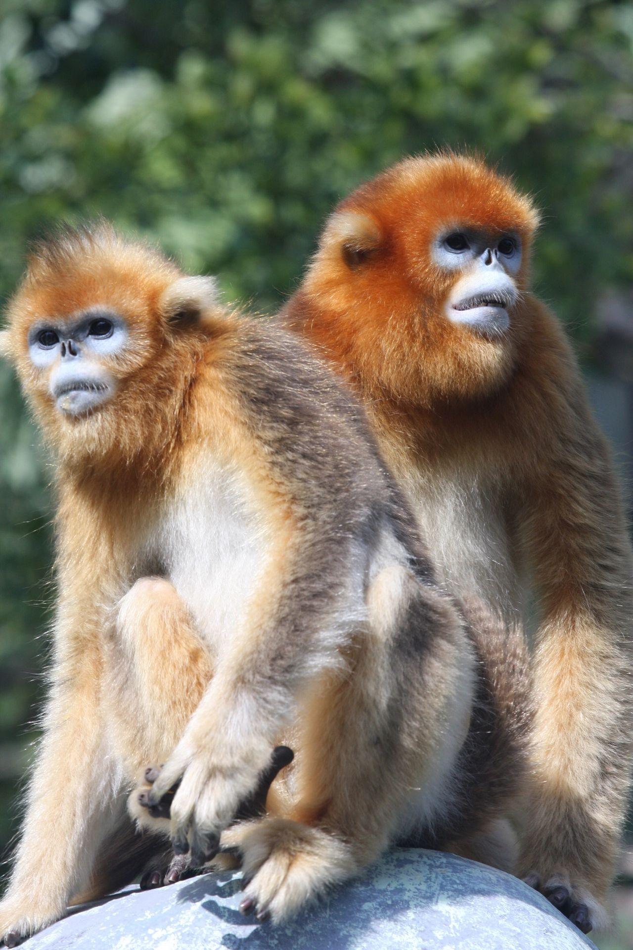 MonkeyYear2016 Safari Park Golden Monkey Animals