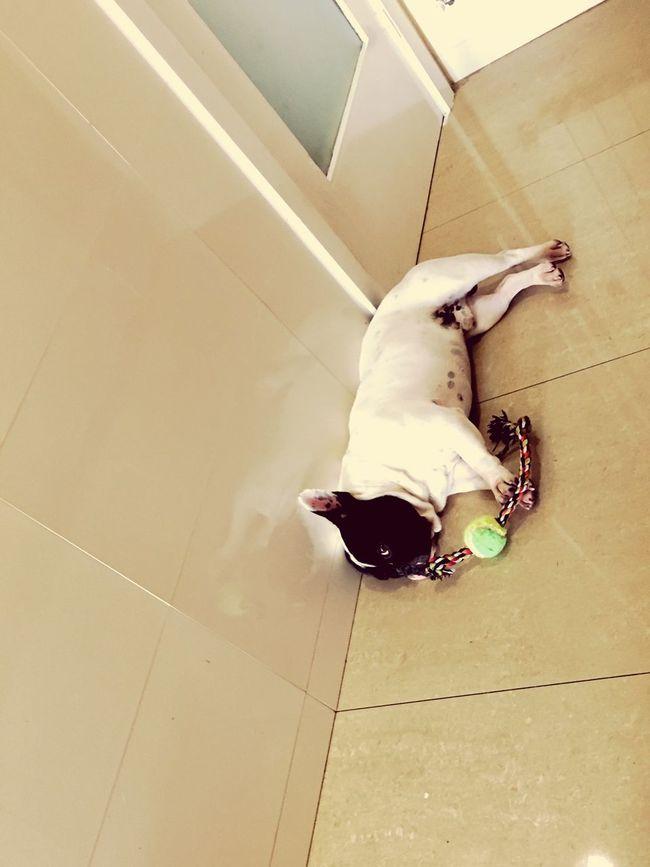 Babydog Frenchbulldog Socute Animal Themes Resting Doglover Doglife Dogmodel