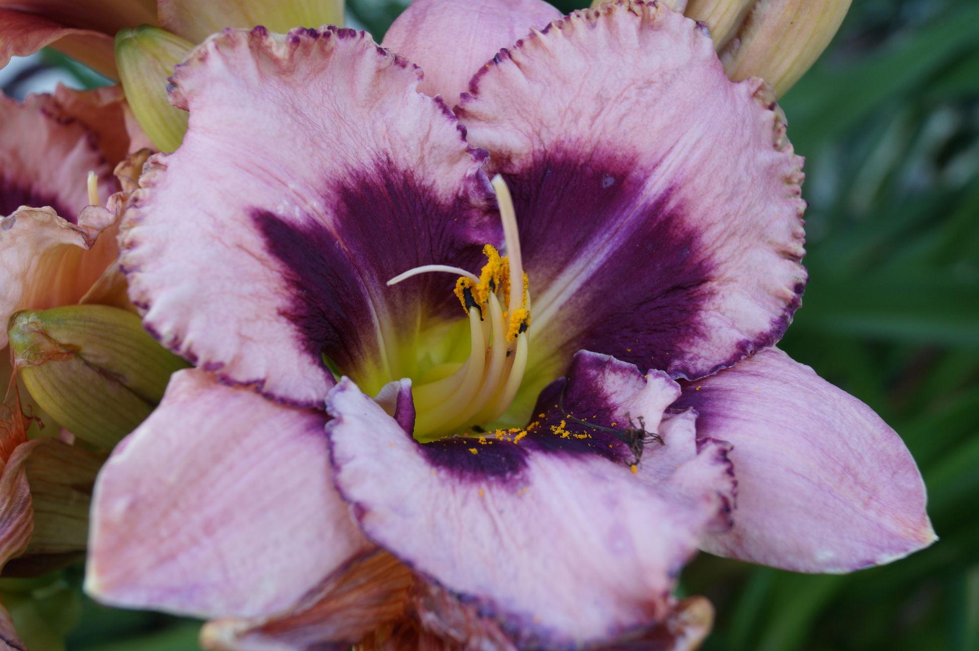 Gartenglück Lilienblüte Sommertime Lieblingsblumen Color Photography Colorphotography Flower Lieblingsblume