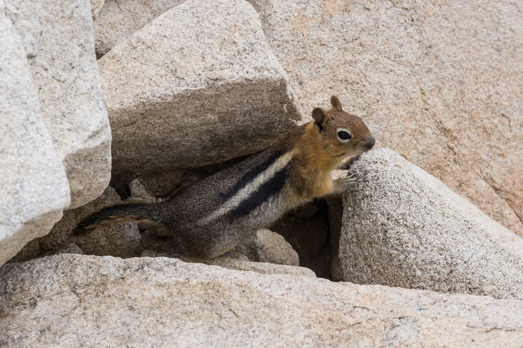 Animal Themes Animal Wildlife Animals In The Wild Chipmunk Close-up Day Inquisitive Animals Mammal Nature No People One Animal Outdoors Rock - Object Rodent Sitting Squirrel