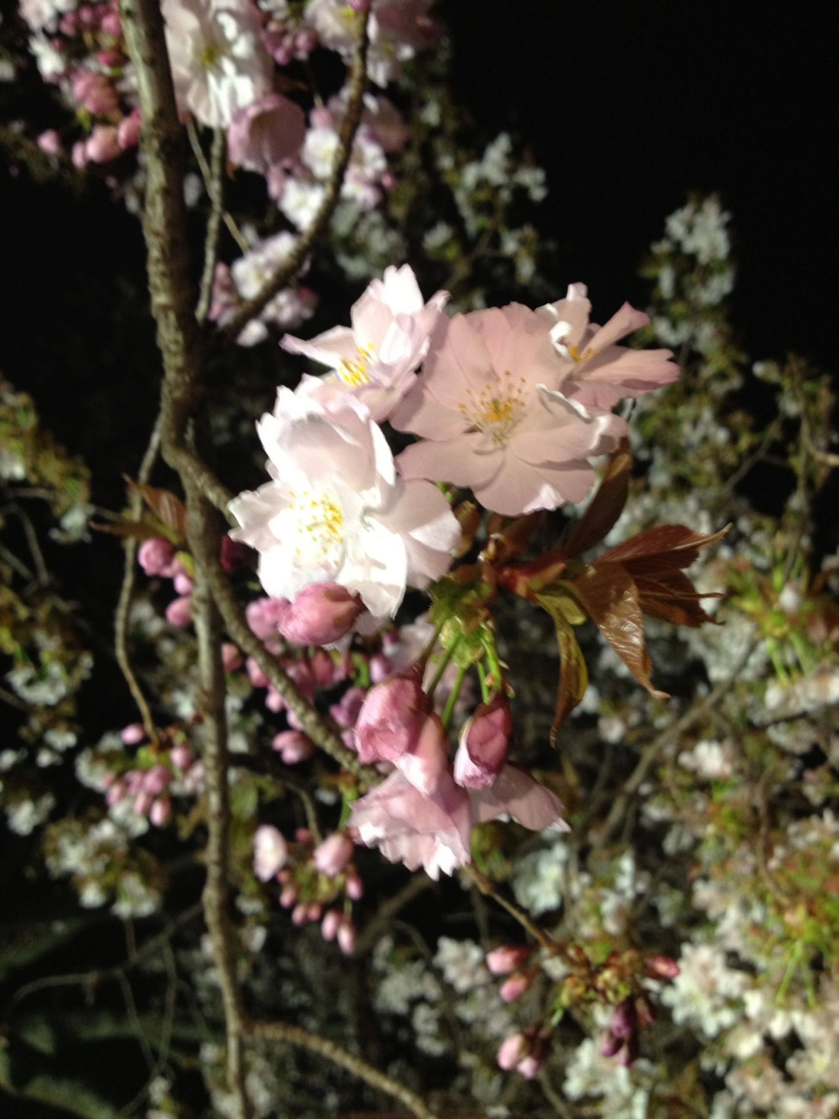 flower, growth, freshness, fragility, beauty in nature, tree, nature, branch, petal, focus on foreground, close-up, blossom, cherry blossom, blooming, selective focus, in bloom, white color, pink color, outdoors, cherry tree
