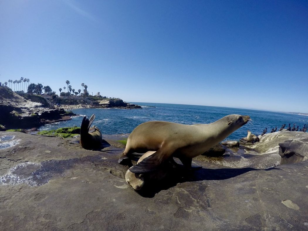 Animal Beauty In Nature Blue Clear Sky Day Domestic Animals Idyllic Mammal Nature No People Outdoors Pets Rock Rock - Object Scenics Seal Sealion  Seaside Shore Sky Tranquil Scene Tranquility Water