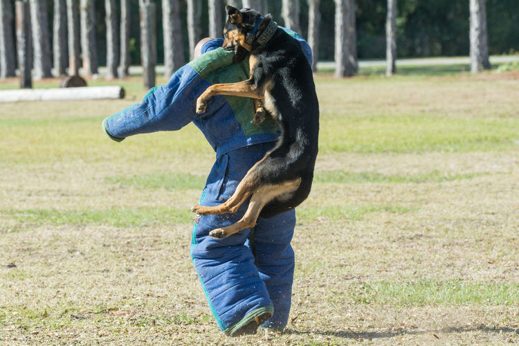 German Shepherd attacking a decoy in a bite suit from the back Bite Suit Bite Training Canine Decoy Dog German Shepherd Police Dog Training
